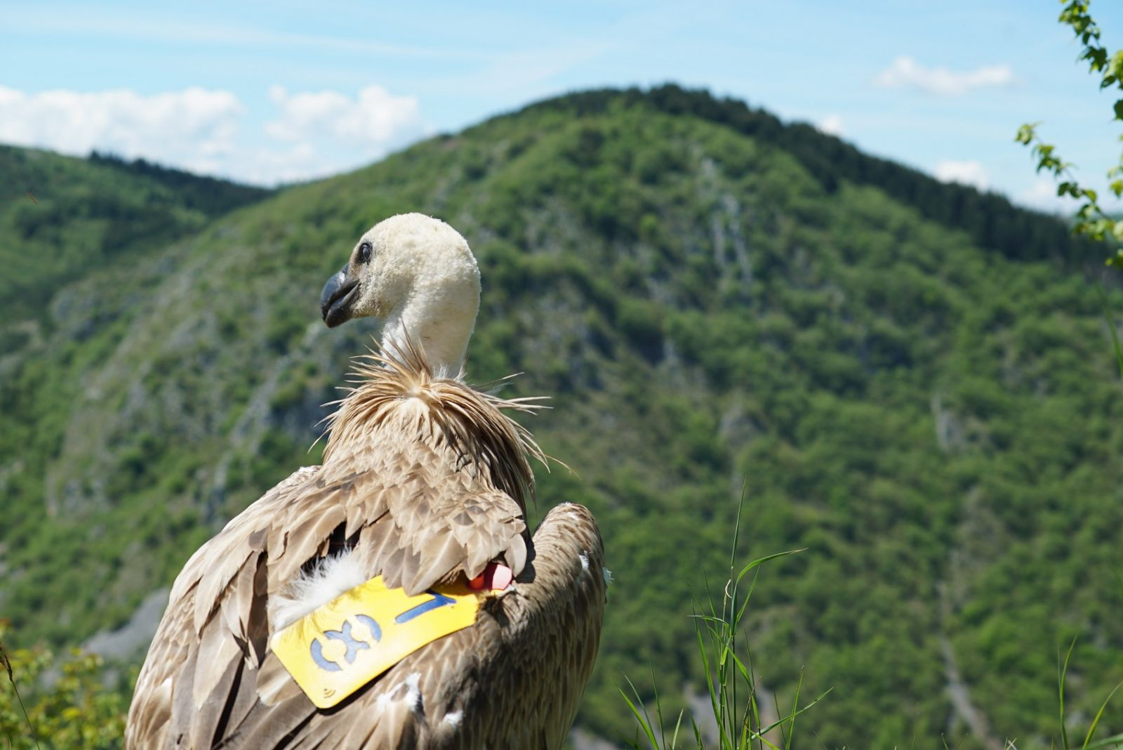 Turkish Cargo върна у дома застрашен лешояд